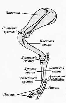 Строение грудной (передней) конечности таксы