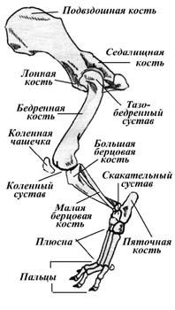 Строение тазовой (задней) конечности таксы